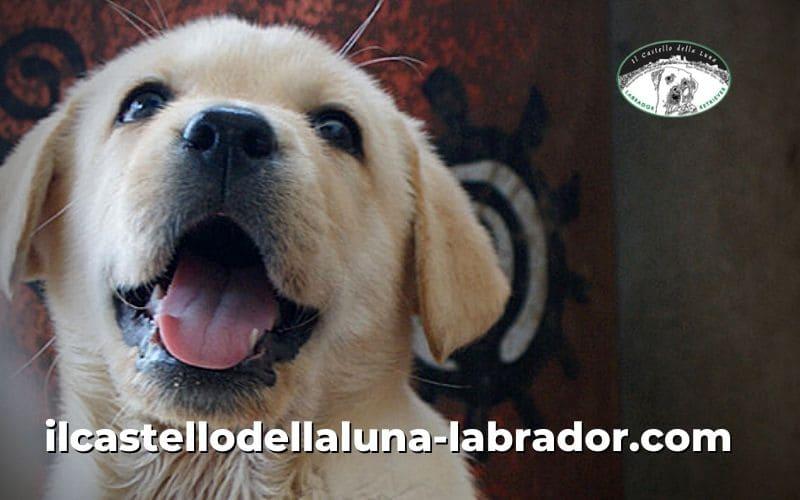 Il Labrador come riconoscerlo e le sue specialità