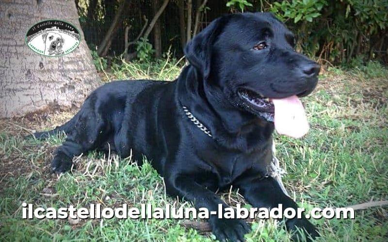 Cane razza Labrador: caratteristiche e storia