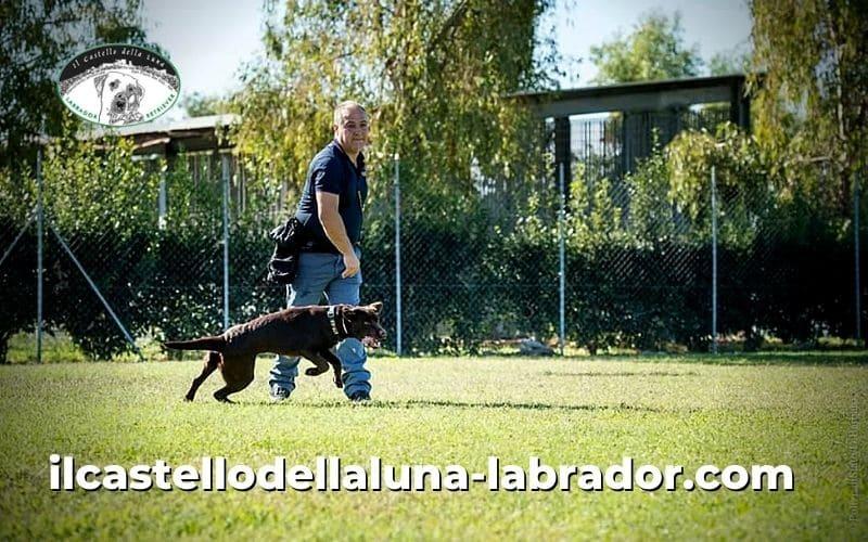 Il labrador, la sua disposizione e la sua attitudine alle attività più svariate
