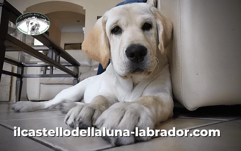 Il labrador retriever: carattere, storia e temperamento