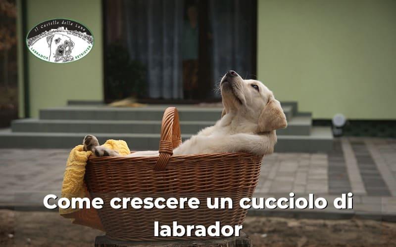 Come crescere un cucciolo di Labrador consigli su come educarlo