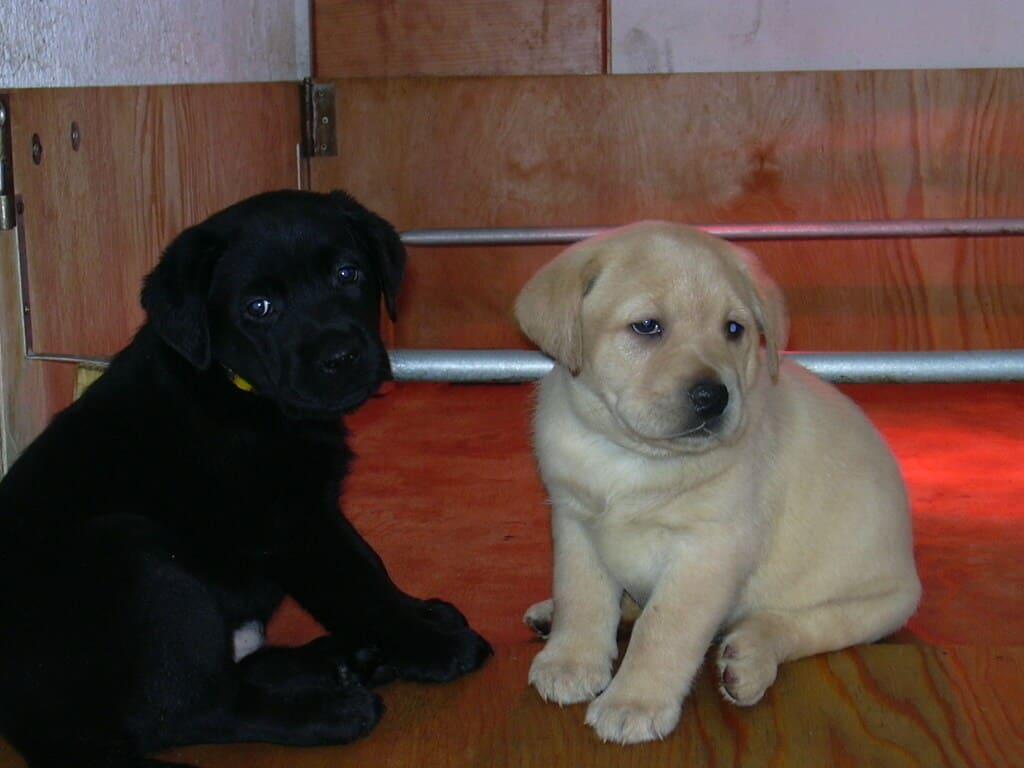 Due labrador piccoli