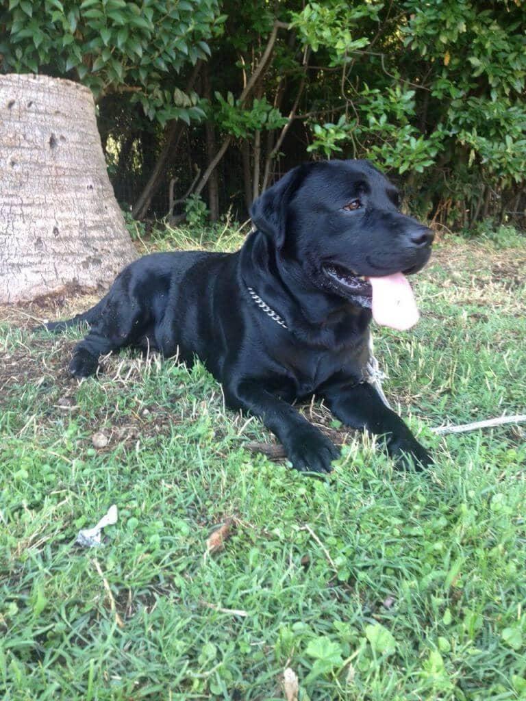 Labrador a riposo
