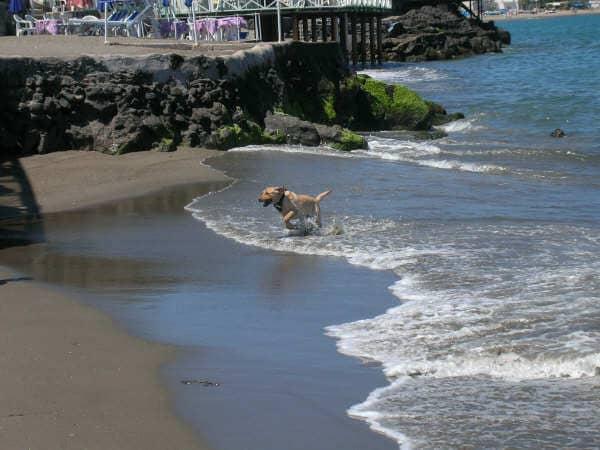 Labrador che corre in acqua