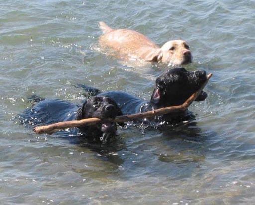 Labrador che giocano in acqua