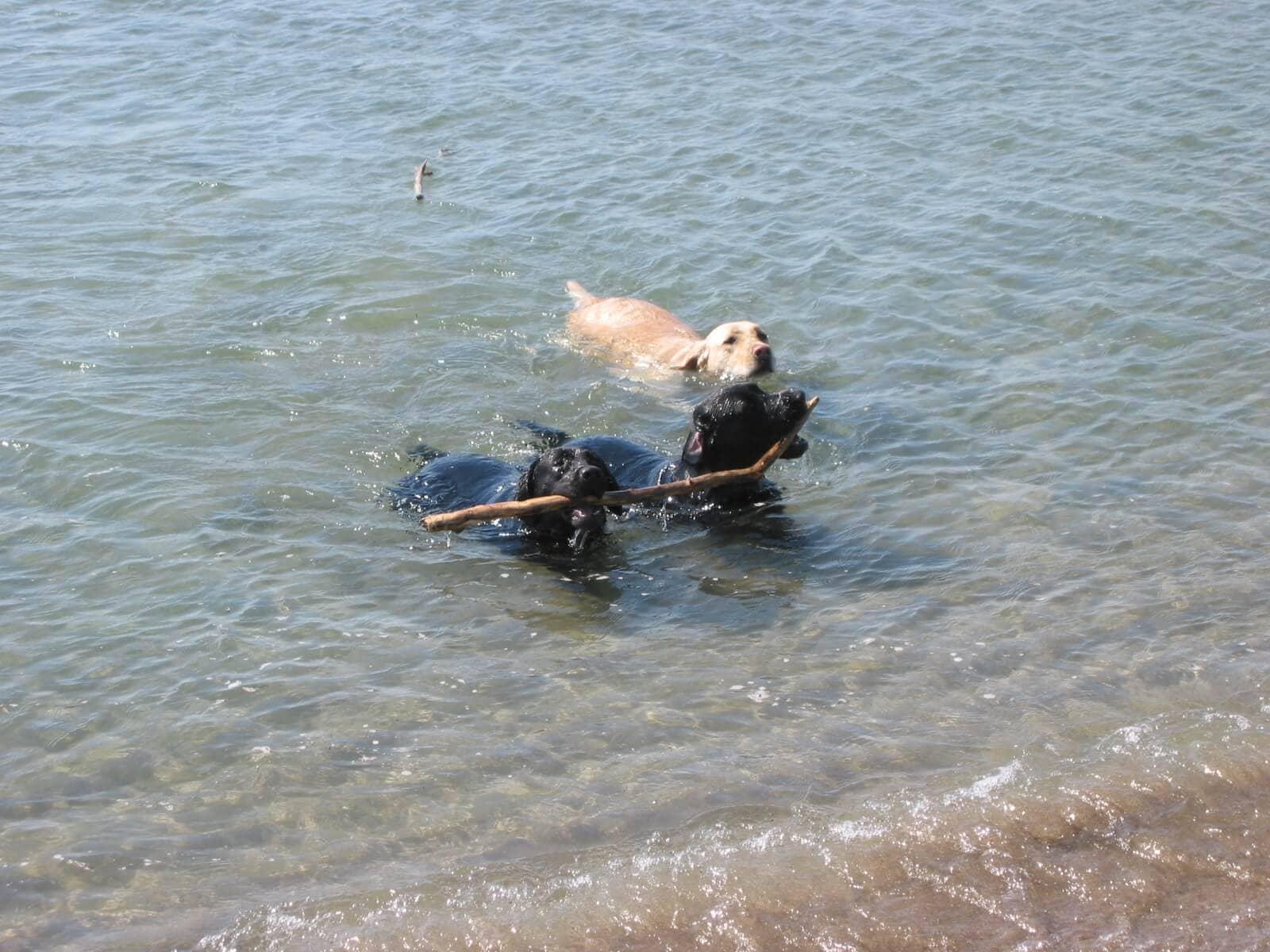 Labrador che recuperano oggetto in acqua