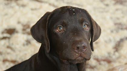 Labrador colore cioccolato