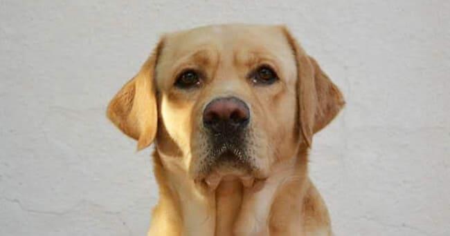 Labrador giallo di faccia