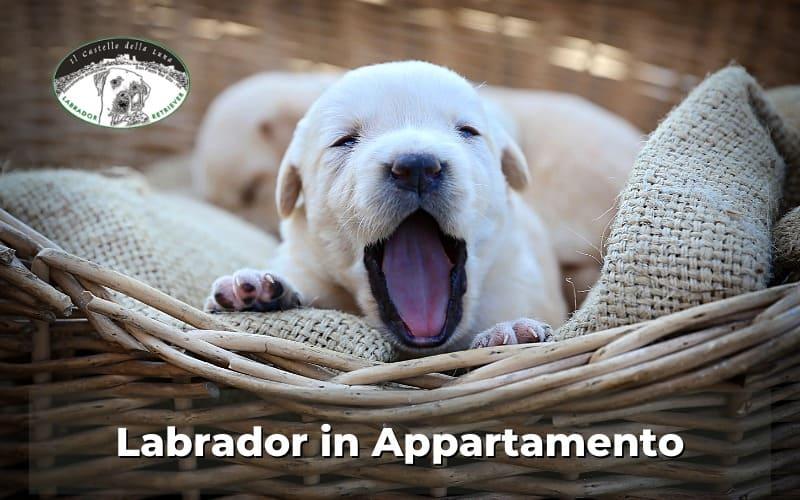 Labrador in appartamento consigli utili su come crescerlo
