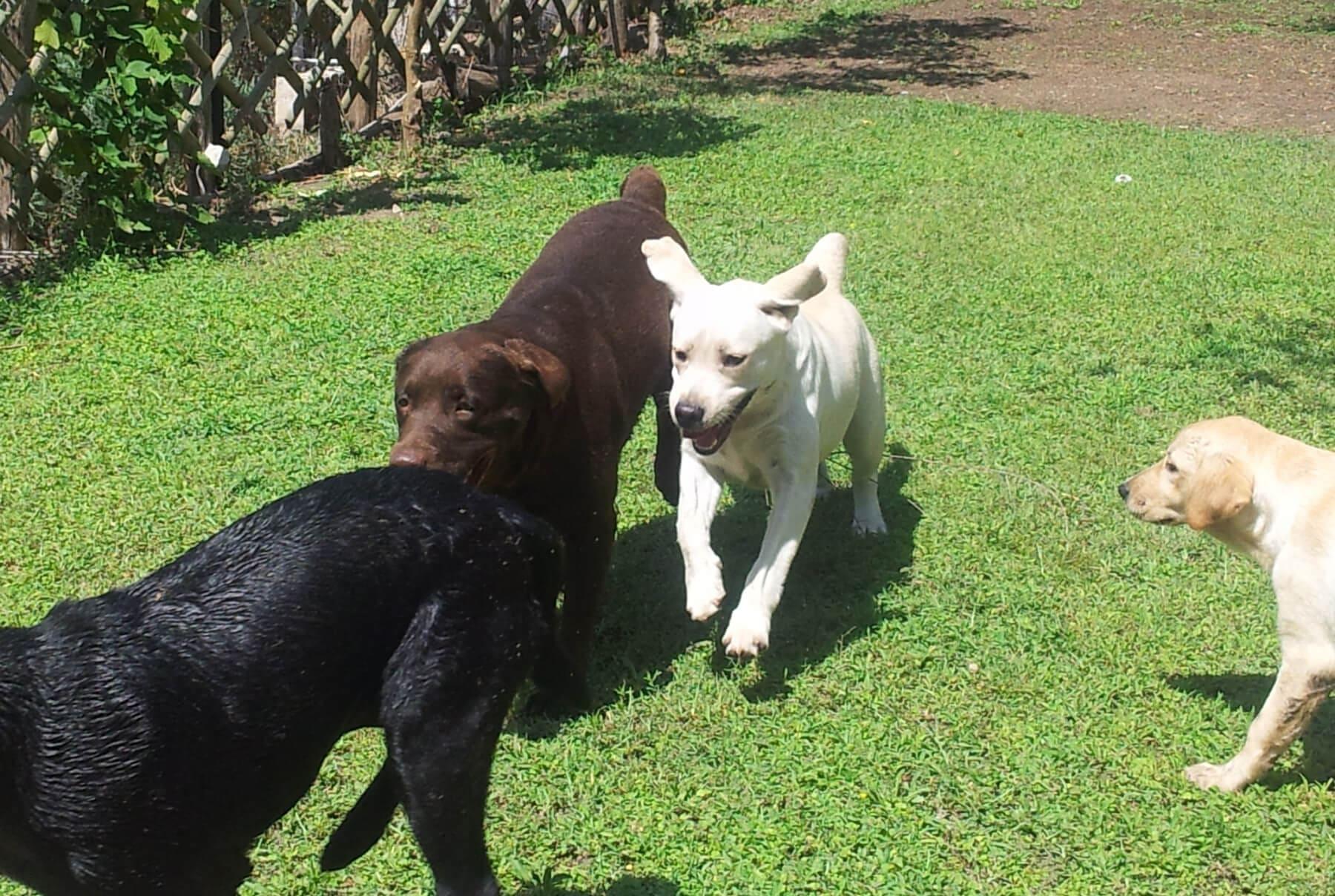 Labrador in movimento