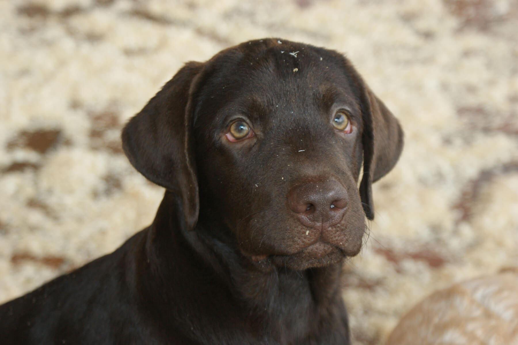 Labrador in primo piano
