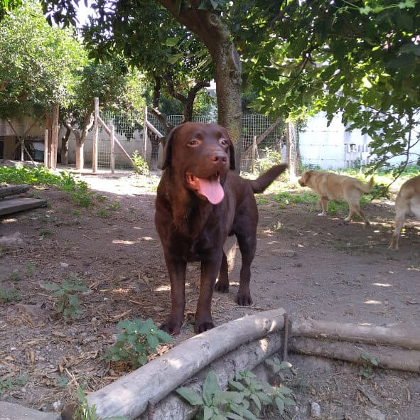 Labrador in spazi aperti