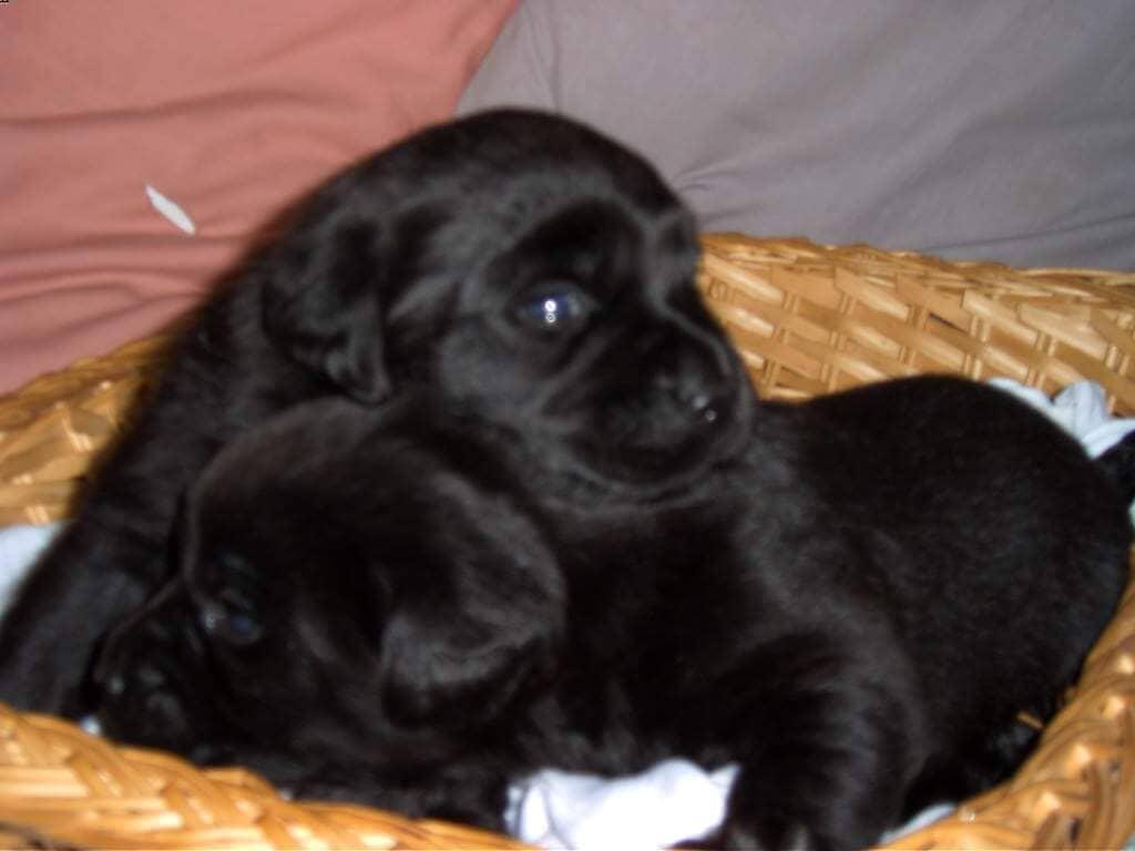 Labrador neri in cuccia