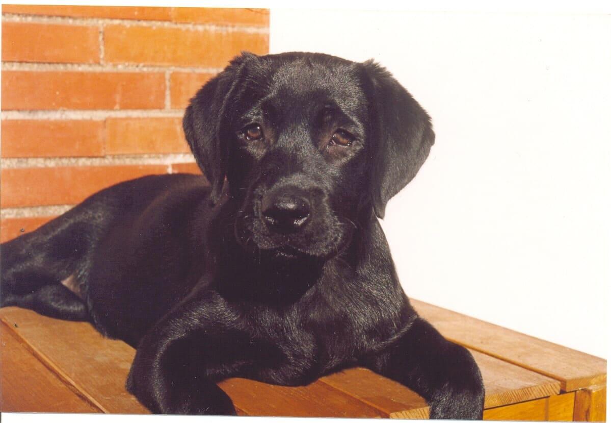 Labrador nero a riposo