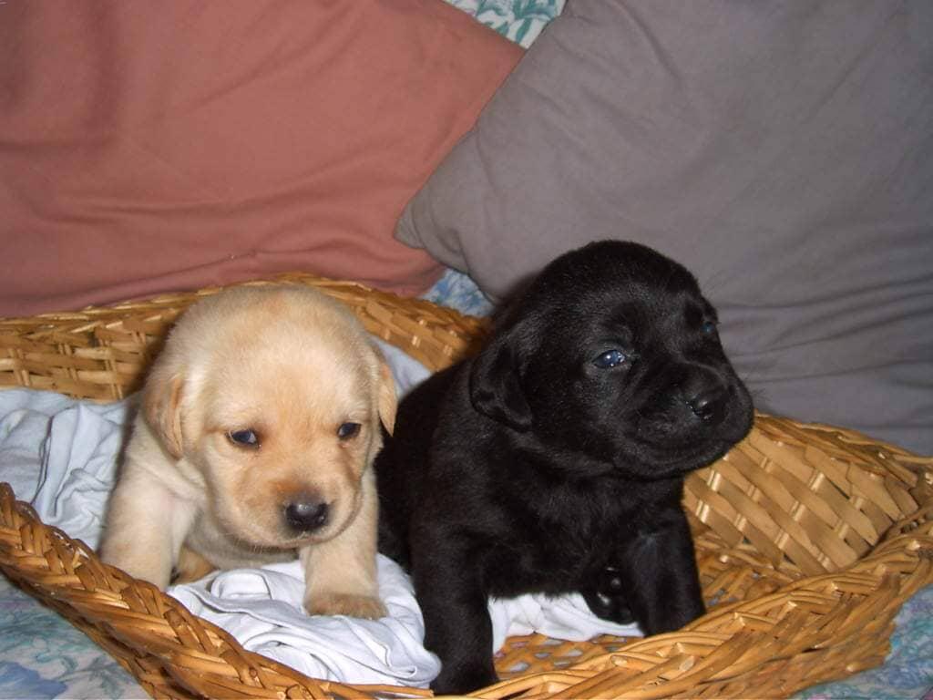 Labrador nero e bianco in cuccia