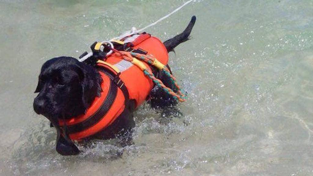 Labrador nero in acqua