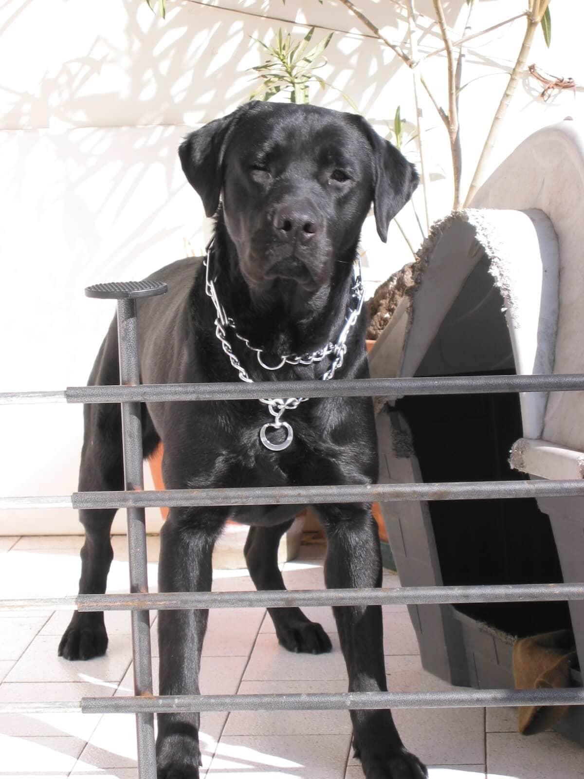 Labrador nero in cuccia