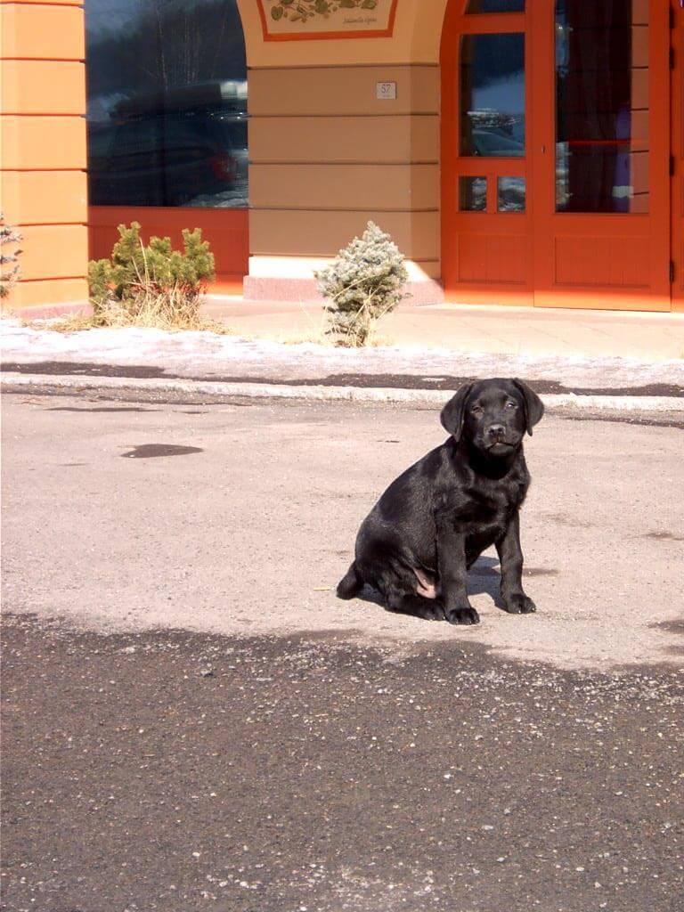 Labrador nero in strada