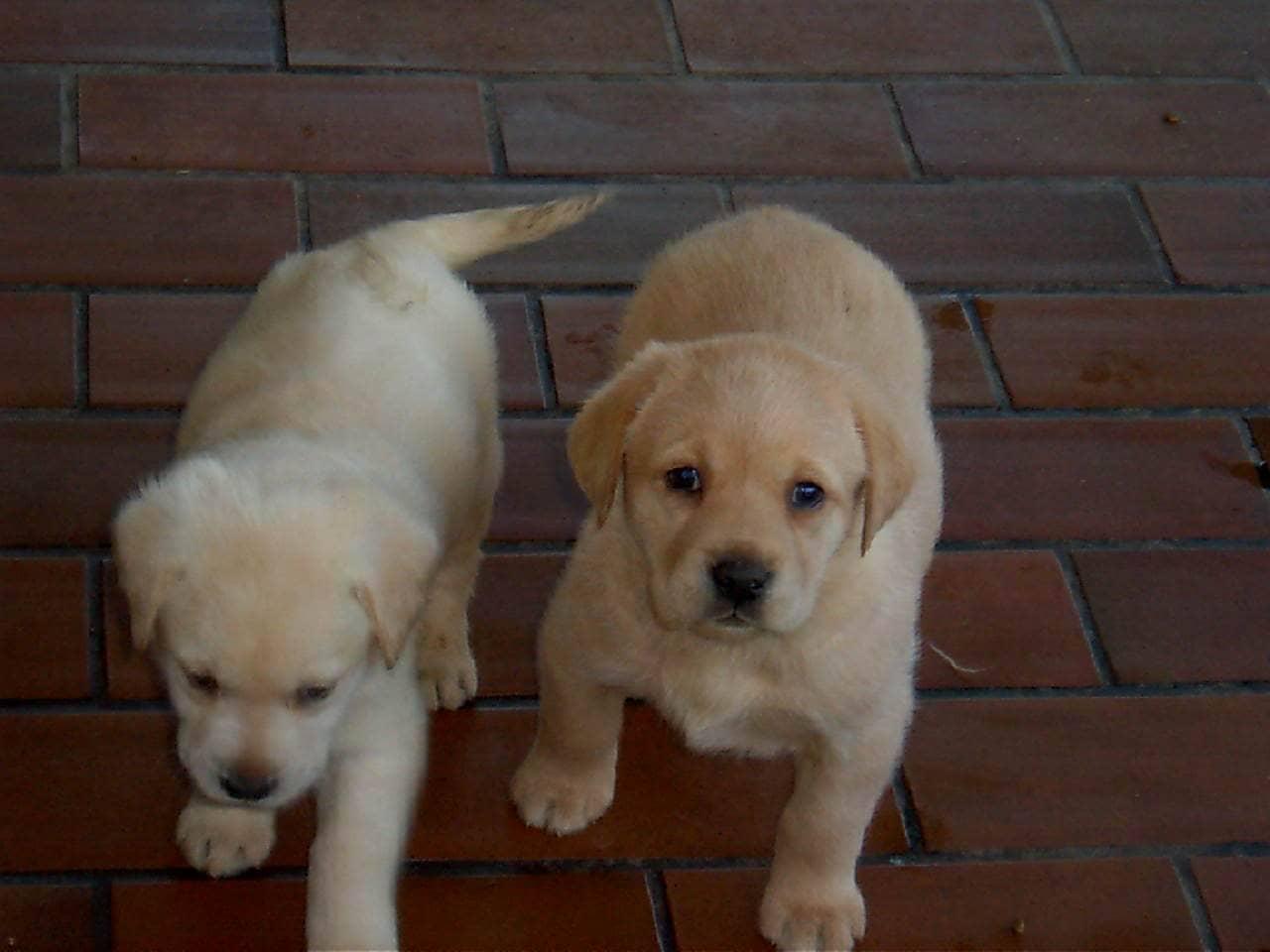 Labrador piccoli che camminano