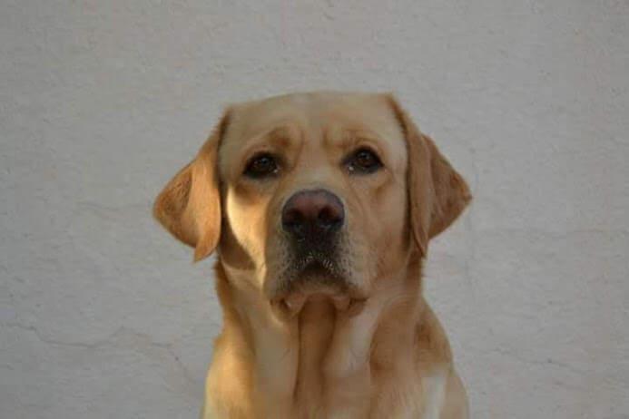 Labrador sguardo in avanti