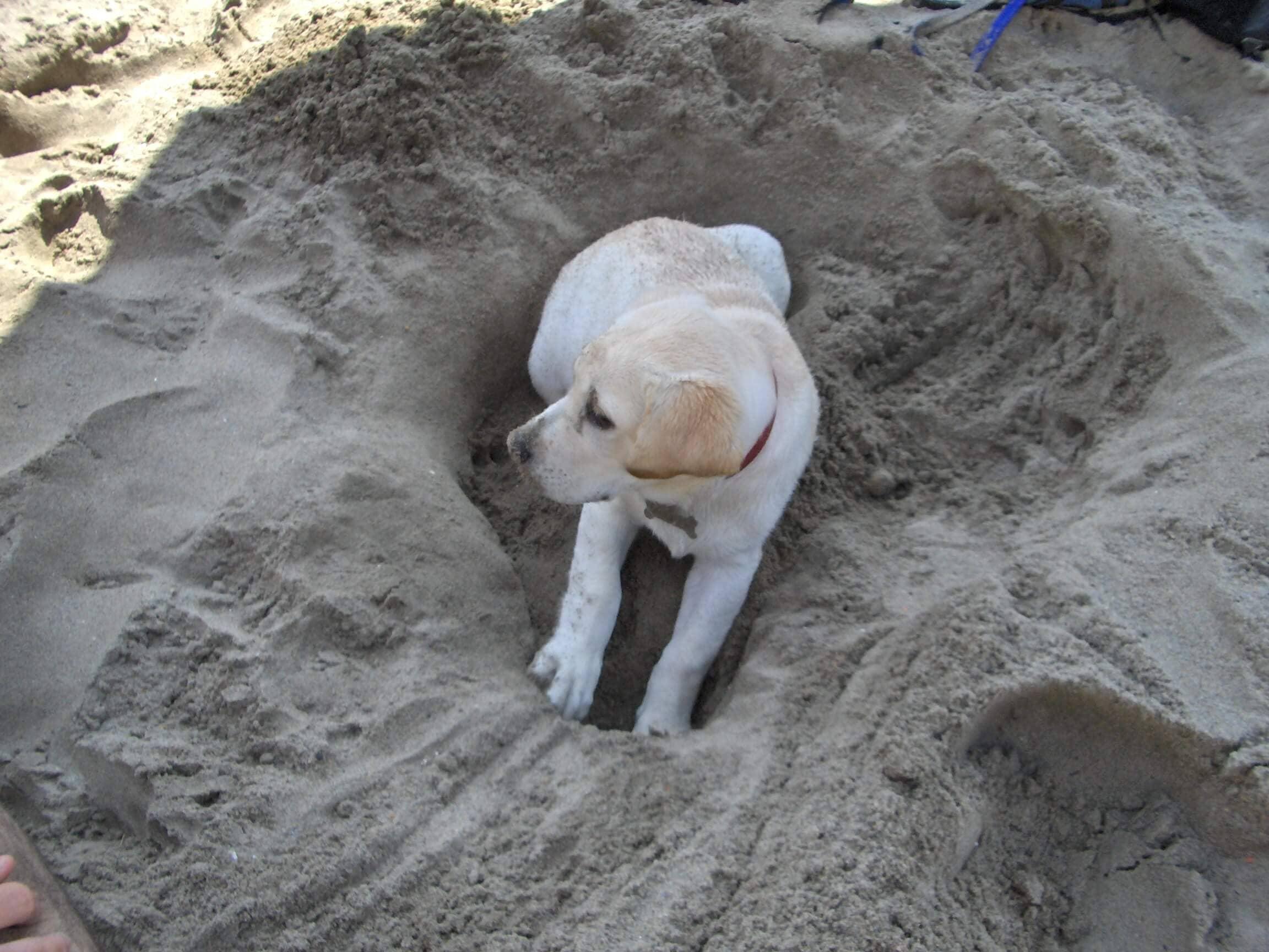 Labrador sulla sabbia