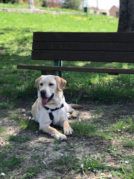 Labrador vicino la panchina