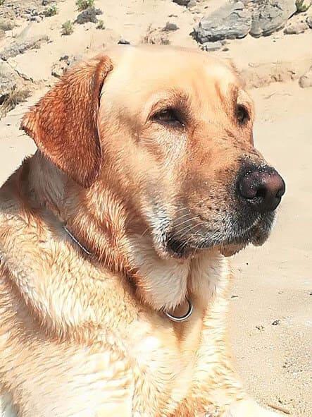 Sguardo Labrador
