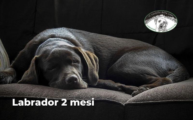 Labrador 2 mesi alimentazione, periodo di condizionamento e altro ancora!