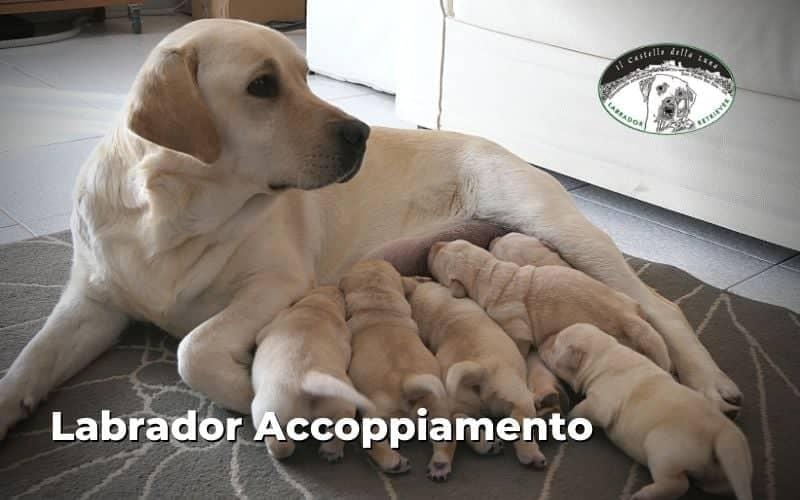 Labrador accoppiamento femmina e maschio, come fare